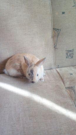 Mały króliczek Młody kólik miniaturka