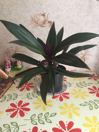 Цветок традисканция Рео, продать