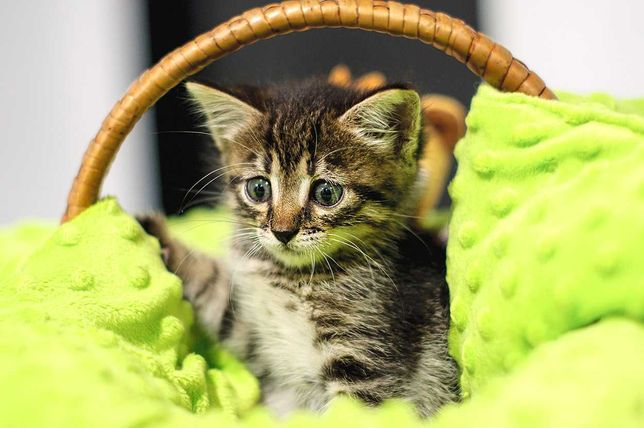 Чарівний смугастий красень Камишенок, кошеня 2 міс. Кот кіт кошка
