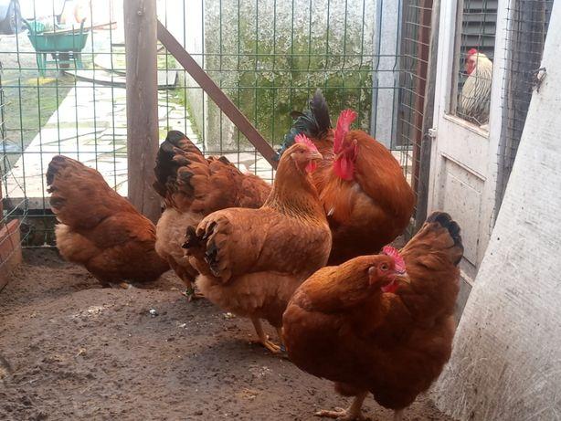 Galinhas poedeiras de varias raças(ovos para incubaçao)