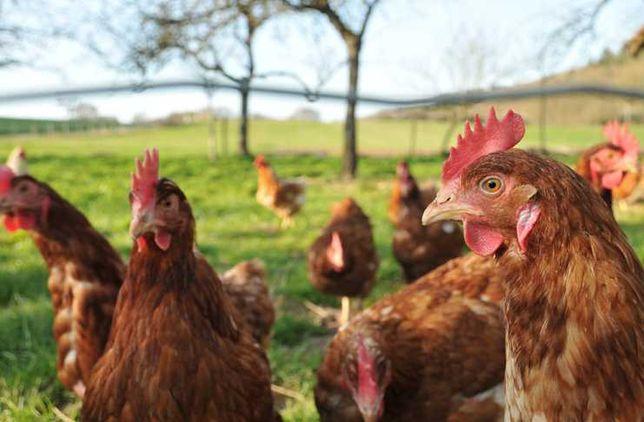 Kury nioski, kokoszki młode certyfikowane, drób, jajka ekologiczne