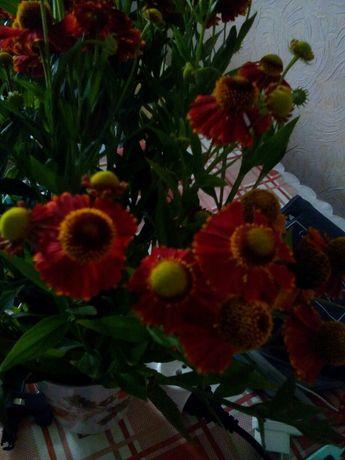 Любисток.Многолетние цвети. Ревень.