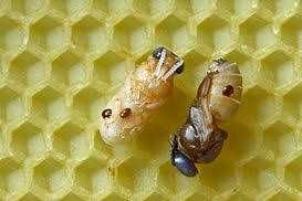 varroa abelhas negociável