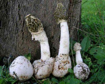 Веселка гриб