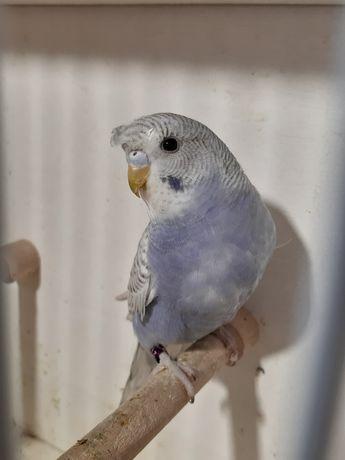 Papuga papugi faliste czubate szpalty para