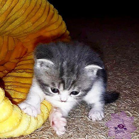 Scottish straight kitty