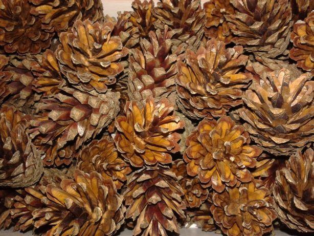 Szyszki sosny zwyczajnej 100szt wyselekcjonowane