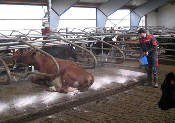 Sucha dezynfekcja mat legowiskowych dla krów bydła prosiąt posypka