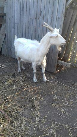 Продам хорошую дойную козу.