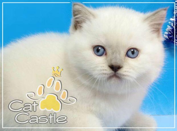 Плюшевый красавец - шотландский котенок