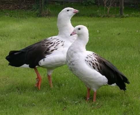 Андский гусь - сформированная пара