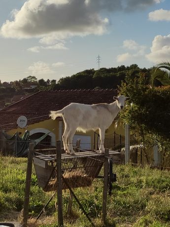 Vendo cabra mocha