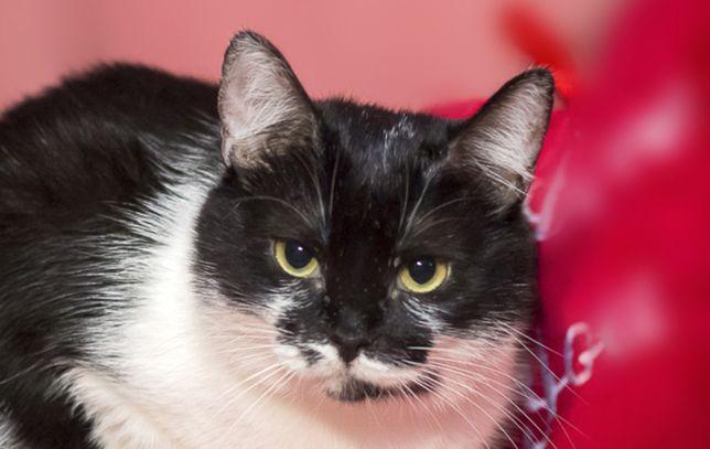 Чарівна дуже ніжна чорно-біла красуня кішечка Б'янка, кішка, 1 р