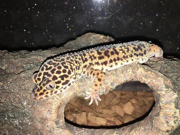 Samica gekona lamparciego z w pełni wyposarzonym terrarium.