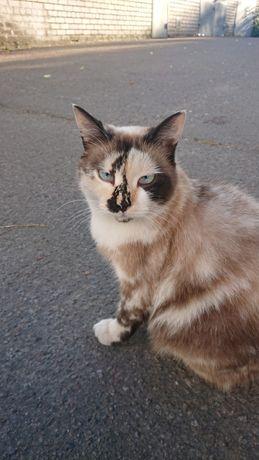 Отдам голубоглазую кошку породы Сноу шу