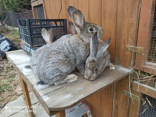 Sprzedam młode króliki po belgu