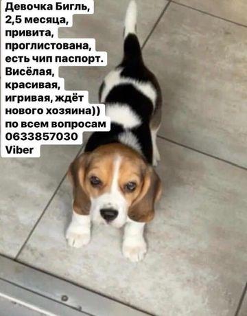 Собаки животные бигль