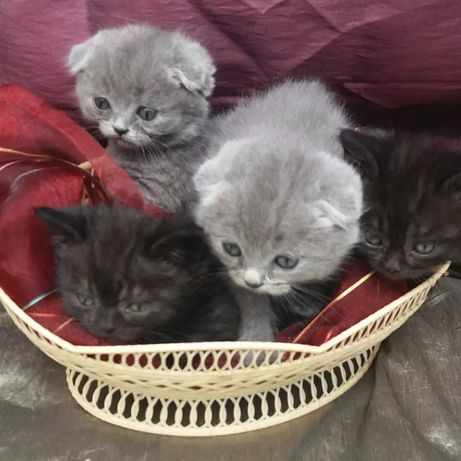 Шотланські кошенята