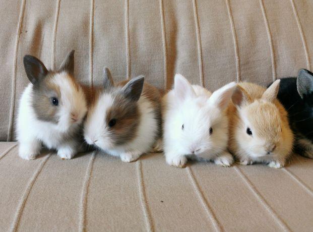 KIT completo coelhos anões angorá, holandês mini e minitoy muito dócei