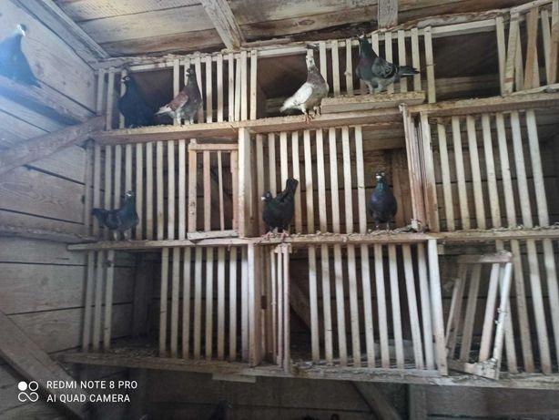 Gołębie pocztowe - likwidacja hodowli