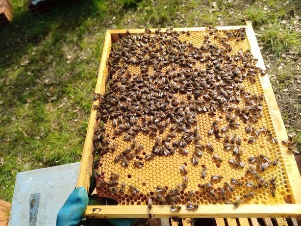 Enxame abelhas 5 quadros C/ ou S/ núcleo
