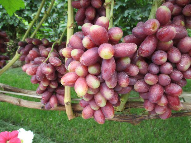 Черенки и саженцы Японского винограда