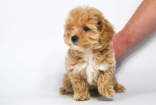 Мальтипу щенки 2 месяца (для бронирования девочка)