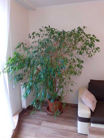 Kwiat  Drzewko Fikus Benjamin2m