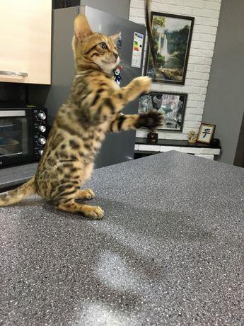 Шикарный бенгальский котик с родословной