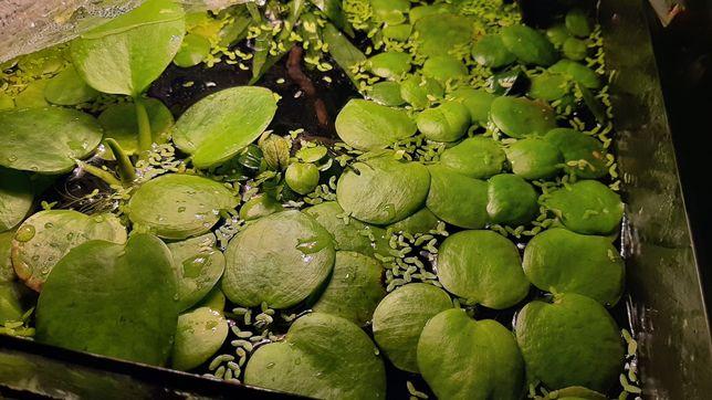 Limnobium roślina akwariowa pływająca
