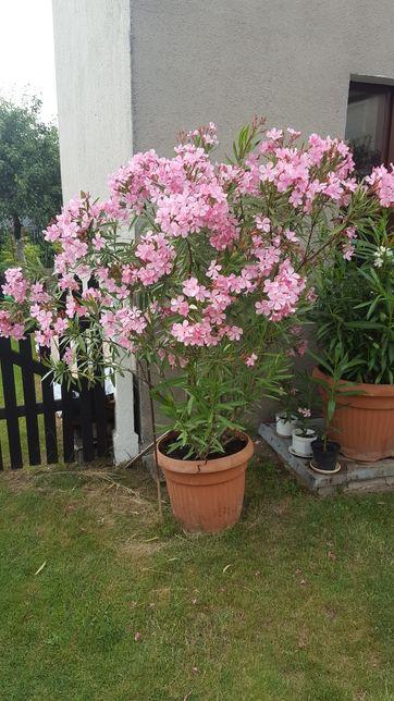 Kwiaty oleandry