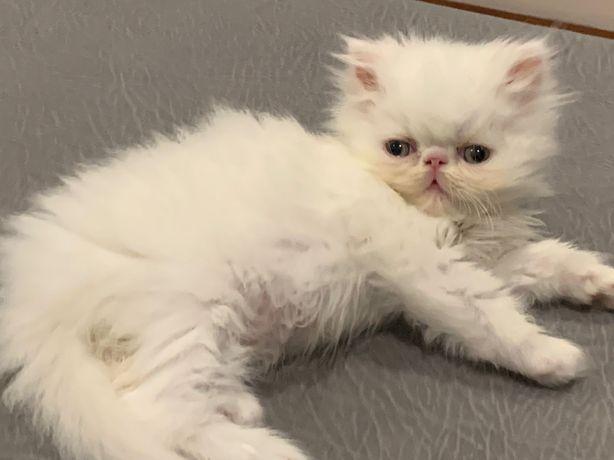 Gatinho persa macho branco