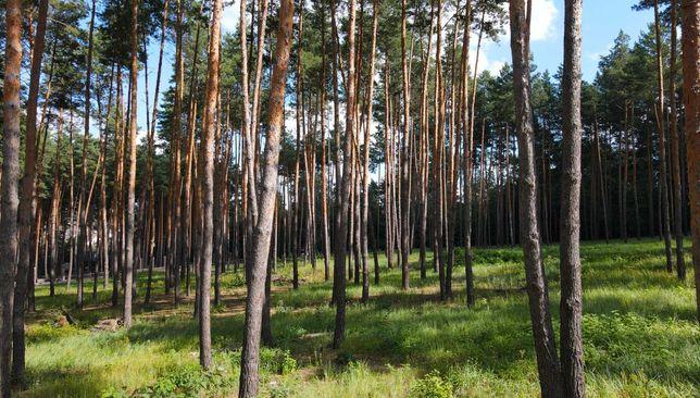 Роскошный участок в сосновом лесу (57сот) закрытый КГ Кременище Хозяин