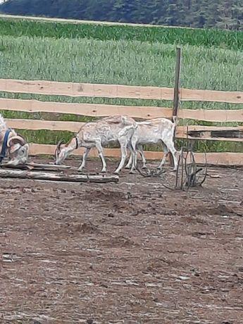 Sprzedam kozy mleczne, redukcja stada
