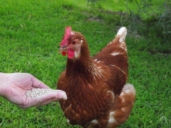 Kury nioski sprzedam mlode z jajkiem kurki z fermy. Różne rasy kur.