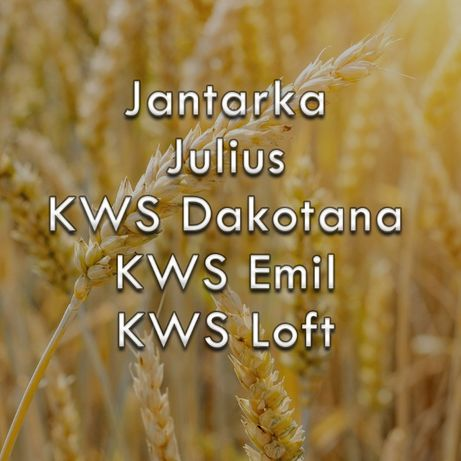 Pszenica ozima nasiona: Jantarka, Julius, KWS Dakotana, Emil, KWS Loft