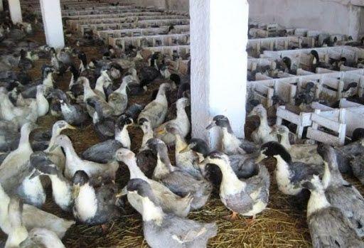 Инкубационное яйцо утки голубой фаворит