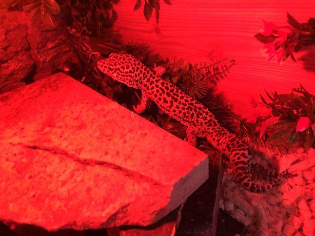 Gekon lamparci z terrarium