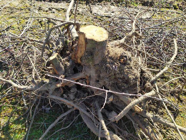 Oddam korzenie Śliwki