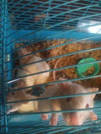 Крыса Грызун ручной домашний (самец) 6 месяцев