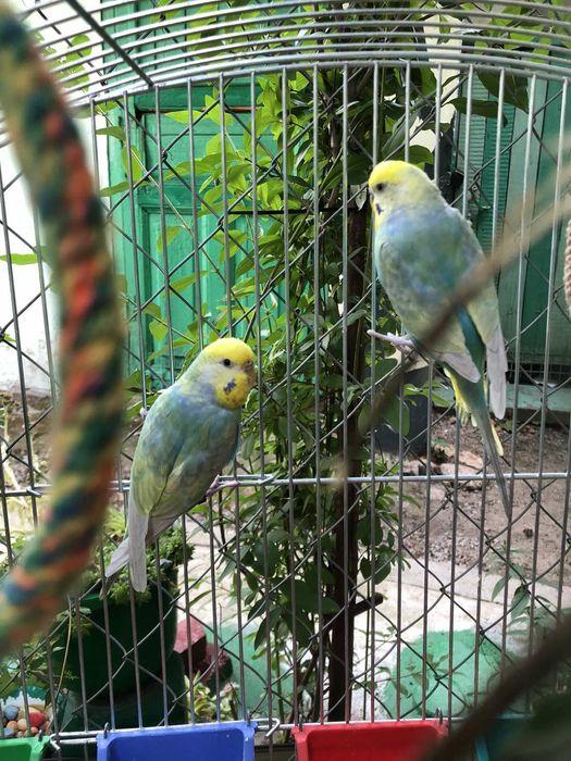 Радужные волнистые попугаи Одесса - изображение 1