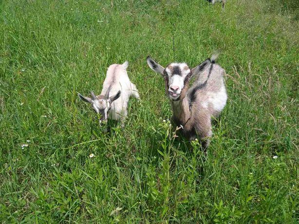 Коза молода з козеням