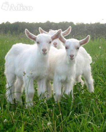 Продам козочок от высокоудойных коз