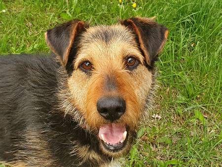 TOBY - piękny, kochany psiak w typie terriera do adopcji