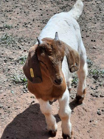 Cabra Boer Fenotico macho