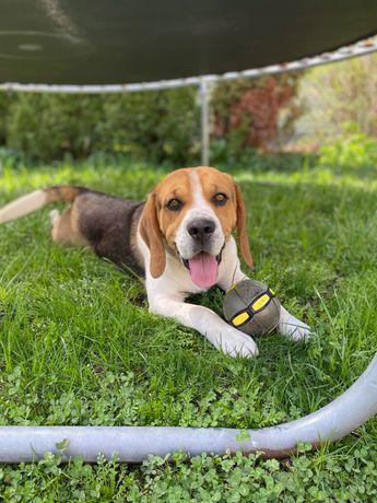 Beagle piękny pies