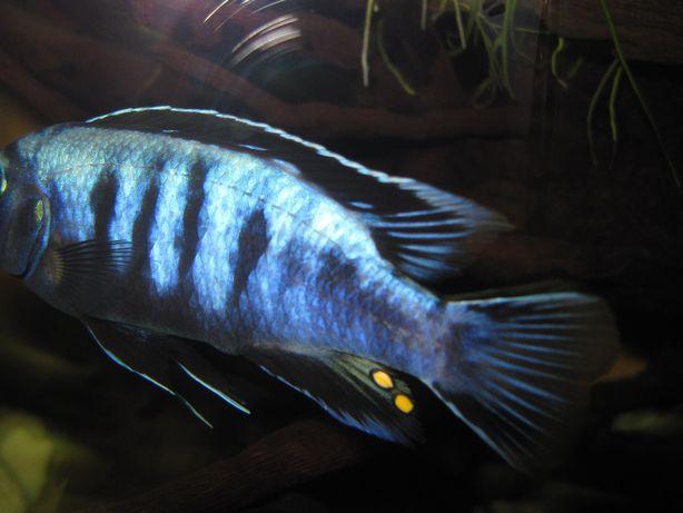 Pyszczaki MALAWI Pseudotropheus Saulosi (Saulosa, Mbuna) - rybki GDA