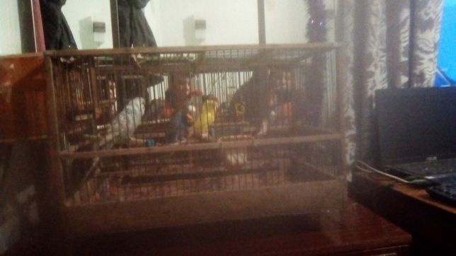 Продам попугаев 400 гр