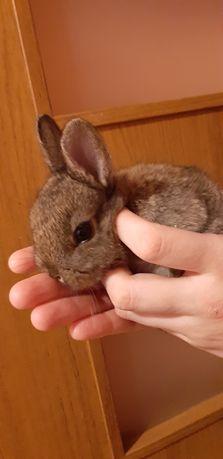 Sprzedam male króliczki