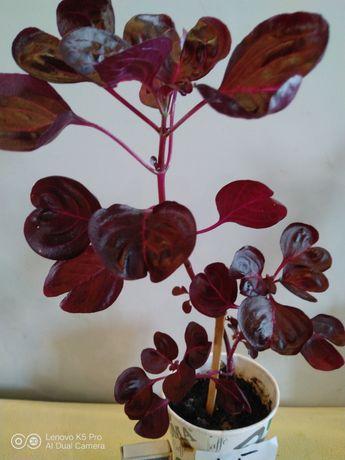 Ирезине интересное растение.